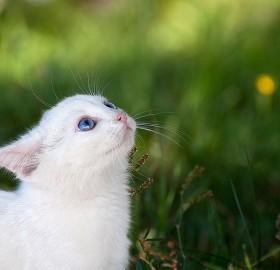 white cat – blue eyes