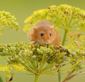 harvest mouse loves flowers