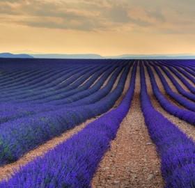 sea of lavenders, france