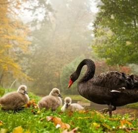 black swan with babies