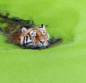 tiger swimming through weeds