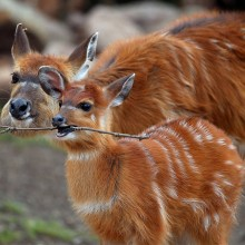 baby antelope playing with stick