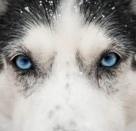 close up husky eyes