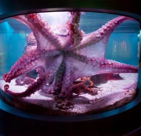 giant octopus, mississippi aquarium