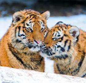 tiger snuggling