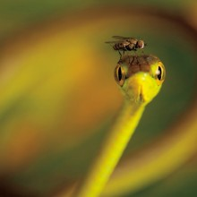 fly rests on the head of a vine snake