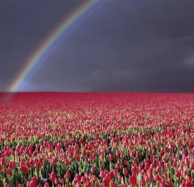 rainbow over tulip field