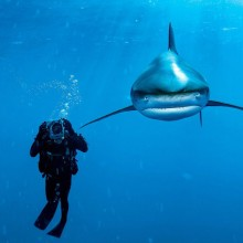 whitetip shark and diver