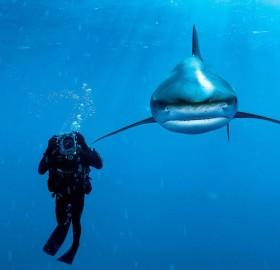 whitetip shark and diver