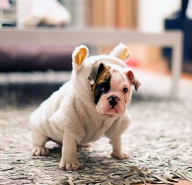 puppy in sheep`s clothing