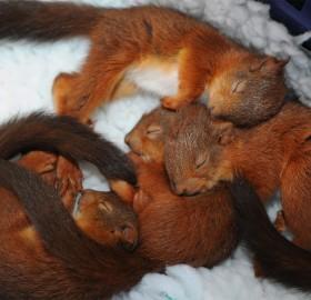baby squirrels sleeping in basket