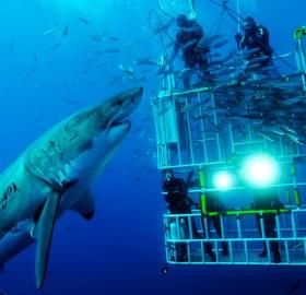 great white shark says hello