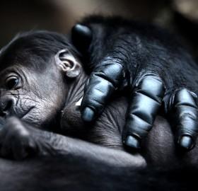 mother gorilla hugs baby