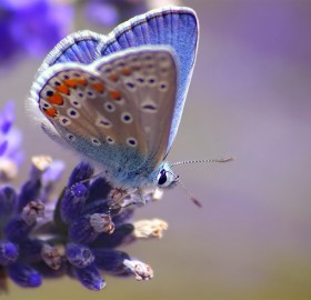 blue butterfly on a blue flower