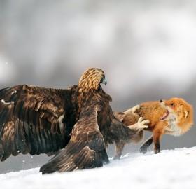 eagle attacks fox