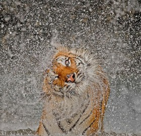 tiger shaking itself dry