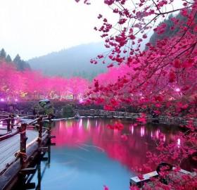 lighted cherry blossom lake, japan