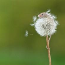 mouse on dandelion