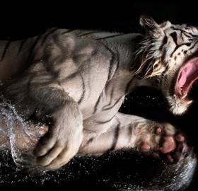 white bengal tiger underwater
