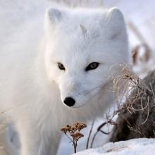look of the arctic fox