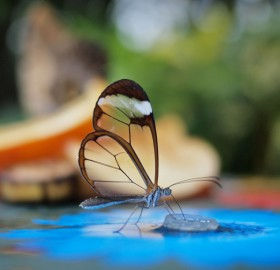 transparent glasswing butterfly