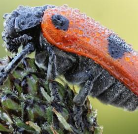 beetle under dew