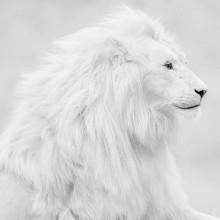 beautiful albino lion