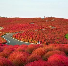 flower paradise, hitachi seaside park, japan