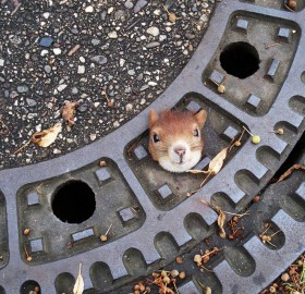 squirrel stuck in manhole cover