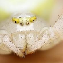 white jumping spider