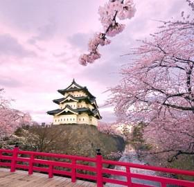 cherry blossoms, hirosaki castle japan
