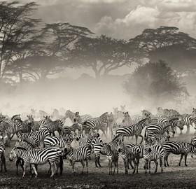 the beauty of the zebra herd
