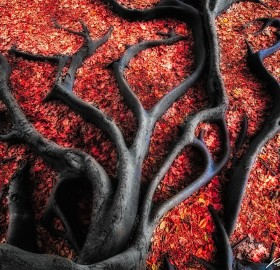 black roots on red leaves