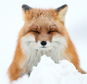The Amazing World Of Foxes In Photography