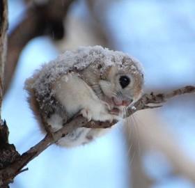 cute japanese dwarf flying squirrel