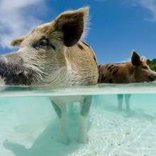 pigs in the crystal clear sea of the bahamas