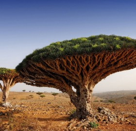 dragon blood tree, yemen