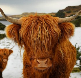 highland cattle from scotland