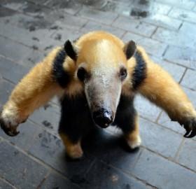 tammy the tree climbing anteater