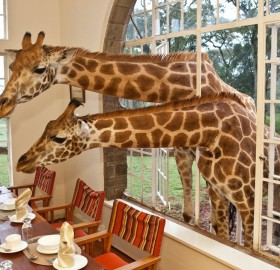 we have guests for lunch, giraffes
