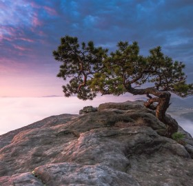 old pine tree, saxon, switzerland
