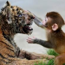 baby rhesus macaque and a tiger cub