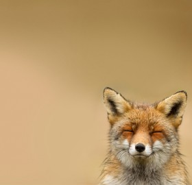 fox just being happy