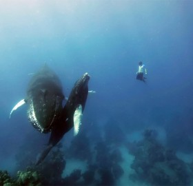 free diving with humpback whales