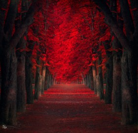 red maples trees path