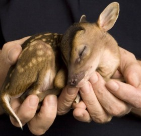 tiny baby deer seeping in a man`s hands