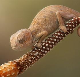 baby chameleon sleeping