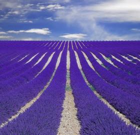 purple fields of lavender, france