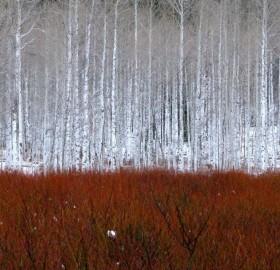aspen trees, colorado