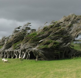 windswept trees, new zealand